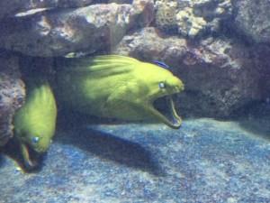Eels at Key West Aquarium
