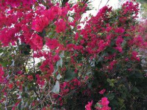 Key West Flowers in bloom