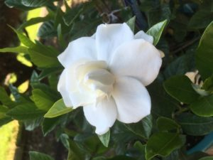 a beautiful gardenia