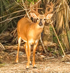 Key Deer seen on Key West Road Trip
